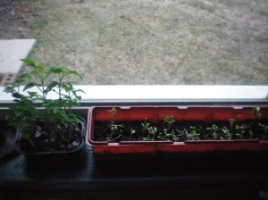 mini tomatoes on the left... and carnations on the right