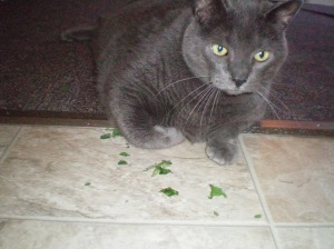Zeus nice and stoned on catnip from aunty Nicole